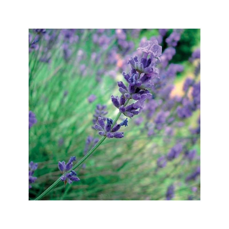 Lavender 100% essential oil