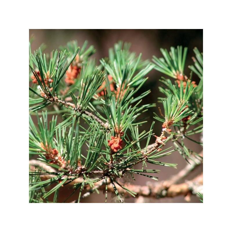 Pine 100% essential oil