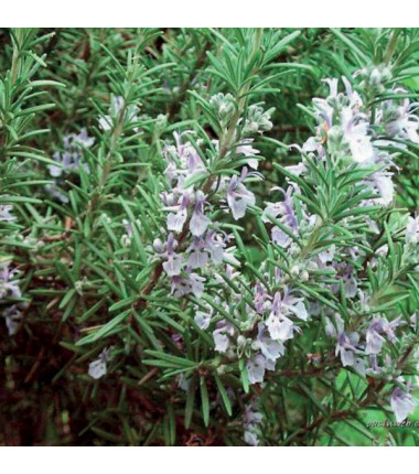 Rosemary 100% essential oil