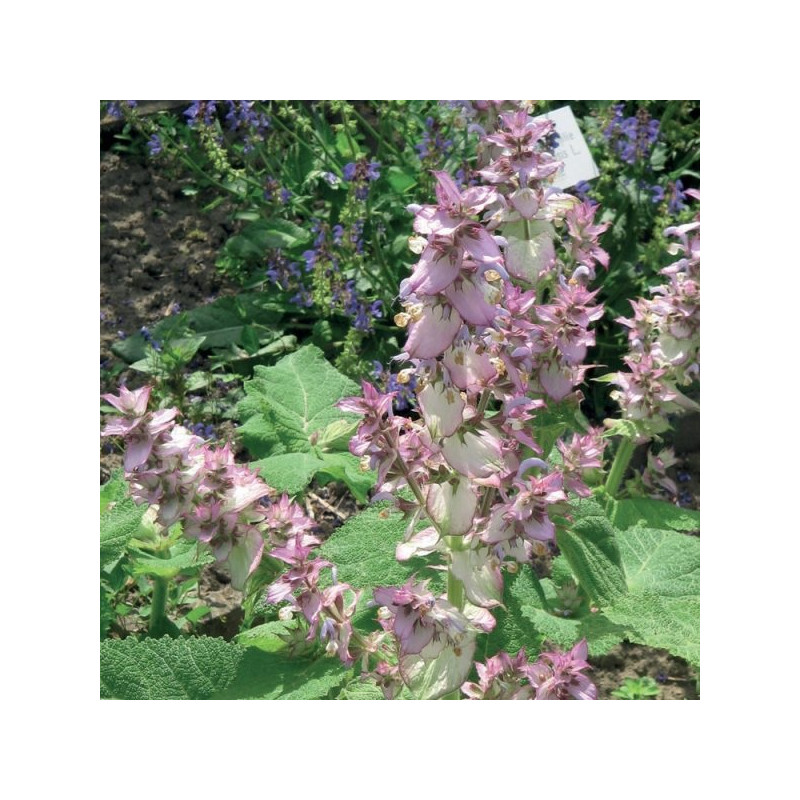 Clary sage 100% essential oil